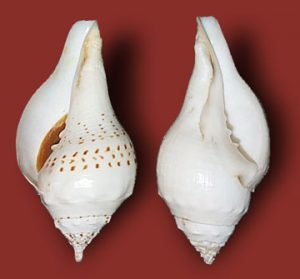 laxmi-normal-laxmi-conch